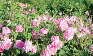 Roses in Ta'if